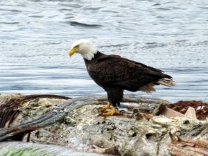 bald-eagle-21144_1280